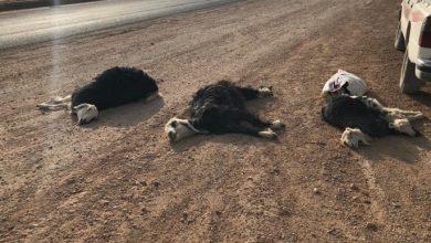 Photo of كلاب تهاجم مزرعة بمحافظة شقراء وتقتل ١٦ رأساً من الأغنام